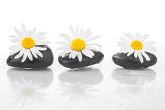 与雏菊的三块石头在水 免版税库存图片