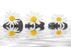 与雏菊的三块石头在水 库存图片