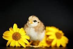 与雏菊的小的小鸡 库存图片