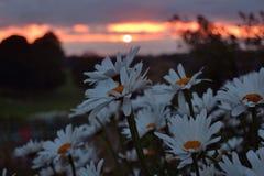 与雏菊的日落 免版税库存照片