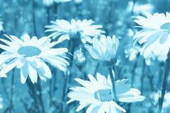 与雏菊的被定调子的背景 免版税库存照片