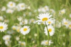 与雏菊的领域 免版税图库摄影
