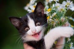 与雏菊花束的滑稽的小猫  图库摄影