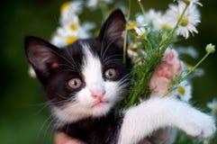 与雏菊花束的滑稽的小猫  库存照片