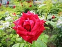 与雨下落的一朵玫瑰早晨 库存照片