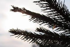 与雨下落的云杉的树枝 图库摄影