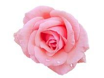 与雨下落的桃红色玫瑰 免版税图库摄影