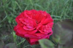 与雨下落的红色玫瑰 库存照片