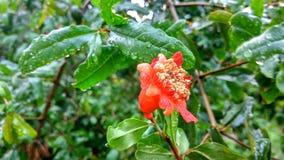 与雨下落的红色花 图库摄影