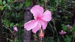 与雨下落的美丽的桃红色花 免版税库存图片