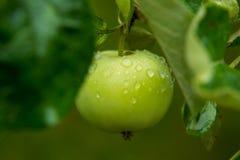 与雨下落的苹果 库存图片