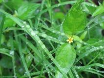 与雨下落的落伍士兵雏菊在草刀片 图库摄影