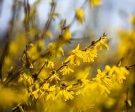 与雨下落的连翘属植物花 免版税库存图片