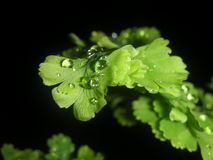 与雨下落的铁线蕨 免版税库存照片