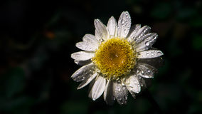 与雨下落的延命菊 免版税库存照片