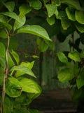 与雨下落的绿色叶子 图库摄影