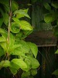 与雨下落的绿色叶子 免版税库存照片
