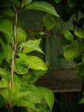 与雨下落的绿色叶子 库存照片