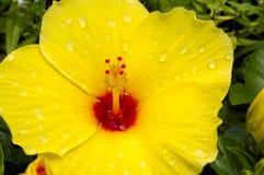 与雨下落的黄色木槿花在瓣 免版税库存照片
