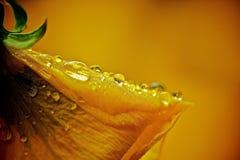 与雨下落的黄色花 库存照片
