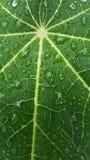 与雨下落,背景纹理的番木瓜事假 图库摄影