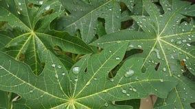 与雨下落,背景纹理的番木瓜事假 免版税库存照片