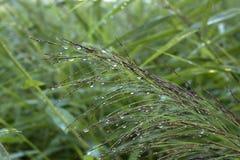 与雨珠特写镜头的绿色新鲜的植物草背景的 免版税库存图片
