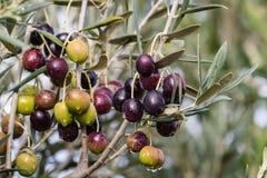 与雨珠的成熟的橄榄在橄榄树 免版税库存照片
