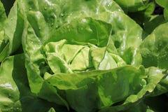 与雨珠的新鲜的有机Butterhead莴苣 免版税图库摄影