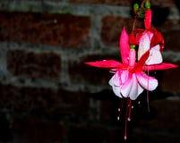 与雨珠的桃红色和白花 免版税库存图片