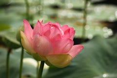 与雨珠的桃红色莲花在绿色背景 库存照片
