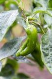 与雨珠的生长新鲜的有机绿色辣椒粉 免版税库存图片
