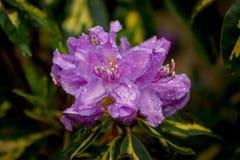 与雨珠的紫色花 免版税库存照片