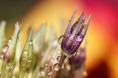 与雨珠的紫色葱属花 免版税图库摄影