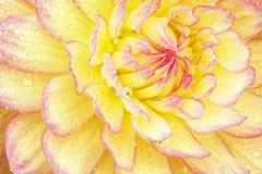 与雨珠的红色和黄色大丽花 库存照片