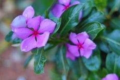 与雨珠的美丽的紫色花 库存图片