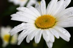 与雨珠的雏菊 库存照片