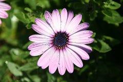 与雨珠的紫色大滨菊 库存照片