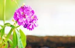 与雨珠-接近的花的开花的湿紫色花-春天自然 免版税图库摄影