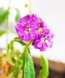 与雨珠-接近的花的开花的湿紫色花-春天自然 库存照片