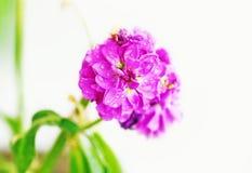 与雨珠-接近的花的开花的湿紫色花-春天自然 免版税库存照片