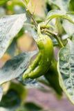 与雨珠2的生长新鲜的有机绿色辣椒粉 图库摄影