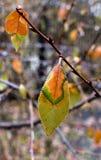 与雨的五颜六色的秋叶在分支,宏指令滴下 免版税库存图片