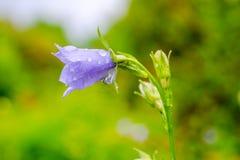 与雨的会开蓝色钟形花的草花在绿色迷离背景滴下 免版税库存照片