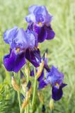 与雨的湿虹膜花在叶子滴下 免版税库存照片