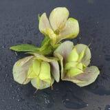 与雨的美丽的绿色花在黑背景滴下 库存照片