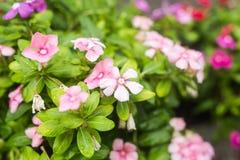 与雨的花在庭院,西部印地安荔枝螺,长春花属roseus,长春蔓花, Bringht眼睛里滴下 库存图片