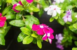 与雨的花在庭院,西部印地安荔枝螺,长春花属roseus,长春蔓花, Bringht眼睛里滴下 图库摄影