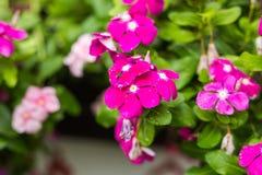 与雨的花在庭院,西部印地安荔枝螺,长春花属roseus,长春蔓花, Bringht眼睛里滴下 免版税库存照片