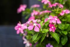 与雨的花在庭院,西部印地安荔枝螺,长春花属roseus,长春蔓花, Bringht眼睛里滴下 库存照片